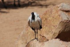 Afrykanina Święty ibis - Threksiornis aethiopicus Obraz Stock