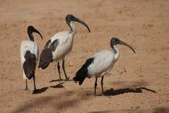 Afrykanina Święty ibis - Threksiornis aethiopicus Zdjęcie Royalty Free