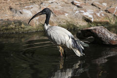 Afrykanina święty ibis (Threskiornis aethiopicus) Zdjęcie Stock
