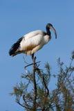 Afrykanina święty ibis, threskiornis aethiopicus Zdjęcie Royalty Free