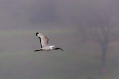 Afrykanina święty ibis (Threskiornis aethiopicus) Obraz Royalty Free