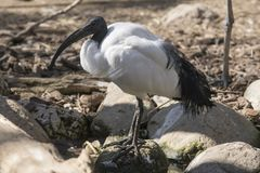 Afrykanina święty ibis w słonecznym dniu obraz stock