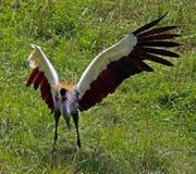 afrykanina żuraw koronował Obraz Royalty Free