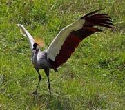 afrykanina żuraw koronował Fotografia Royalty Free