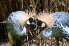 afrykanina żurawia koronowany wschód zdjęcia royalty free