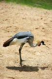 afrykanina żurawia korony profilu strona Zdjęcie Royalty Free