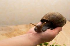Afrykanina Achatina ślimaczek w ręce Fotografia Royalty Free