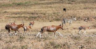 Afrykanina Blesbok antylopa Obrazy Royalty Free