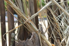 Afrykanina Bloukop jaszczurka Sunbathing Zdjęcia Royalty Free
