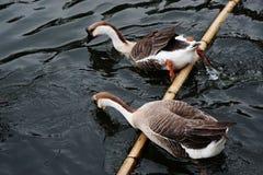 Afrykanina Brown gąska | Piękno ptaki zdjęcia royalty free