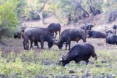 Afrykanina Bufalo ` s w suchym rzecznym łóżku Fotografia Stock