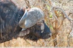 Afrykanina Buffaloe portreta boczny widok Obrazy Stock