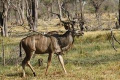 Afrykanina Bush antylopa Zdjęcie Stock