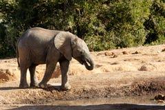 Afrykanina Bush dziecka słonia woda pitna Obraz Stock