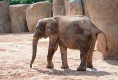 Afrykanina Bush słoń Obraz Stock