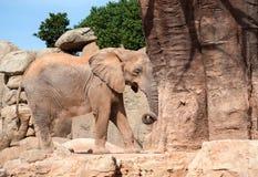 Afrykanina Bush słoń Obraz Royalty Free