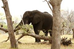 Afrykanina Bush słoń Fotografia Stock