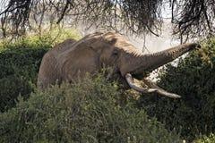 Afrykanina Bush słoń Zdjęcia Stock