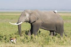 Afrykanina Bush słoń Zdjęcia Royalty Free