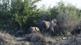Afrykanina Bush słoń, Zdjęcie Royalty Free