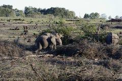 Afrykanina Bush słoń, Fotografia Stock