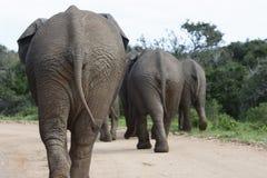 Afrykanina Bush słoń, Addo słonia park narodowy Obrazy Royalty Free