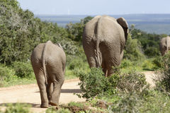 Afrykanina Bush słoń, Addo słonia park narodowy Fotografia Royalty Free