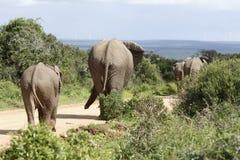 Afrykanina Bush słoń, Addo słonia park narodowy Zdjęcia Royalty Free