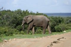 Afrykanina Bush słoń, Addo słonia park narodowy Fotografia Stock