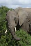 Afrykanina Bush słoń, Addo słonia park narodowy Obrazy Stock