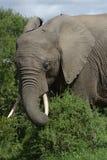 Afrykanina Bush słoń, Addo słonia park narodowy Obraz Royalty Free