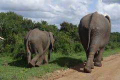 Afrykanina Bush słoń, Addo słonia park narodowy Zdjęcie Stock