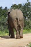 Afrykanina Bush słoń, Addo słonia park narodowy Obraz Stock