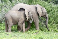 Afrykanina Bush słoń, Addo słonia park narodowy Zdjęcie Royalty Free