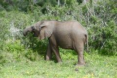Afrykanina Bush słoń, Addo słonia park narodowy Zdjęcia Stock