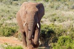 Afrykanina Bush słoń chodzi do Ciebie Zdjęcia Stock