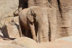 Afrykanina Bush słoń - Loxodonta africana Obrazy Stock