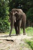 Afrykanina Bush słoń - Loxodonta africana Zdjęcia Royalty Free