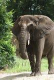 Afrykanina Bush słoń - Loxodonta africana Obraz Royalty Free