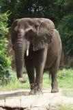 Afrykanina Bush słoń - Loxodonta africana Zdjęcia Stock