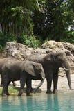 Afrykanina Bush słoń - Loxodonta africana Zdjęcie Stock