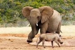 Afrykanina Bush słoń mój woda iść daleko od Zdjęcie Stock