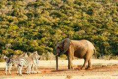 Afrykanina Bush słoń ma gadkę z zebrą Obrazy Royalty Free