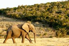Afrykanina Bush słoń na sposobie woda Obraz Royalty Free