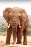 Afrykanina Bush słoń patrzeje prosto przy tobą Obraz Stock