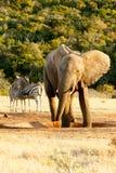 Afrykanina Bush słoń patrzeje zebry Pić Obrazy Stock