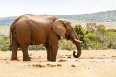Afrykanina Bush słoń Pije niektóre Wodnych Fotografia Royalty Free