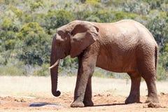 Afrykanina Bush słoń przyjeżdża przy tamą Zdjęcia Stock