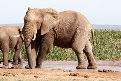 Afrykanina Bush słoń - Stojący pozę i uderzający Fotografia Royalty Free