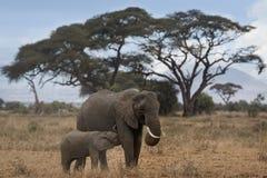 Afrykanina Bush słoń z osesek łydką Obraz Stock